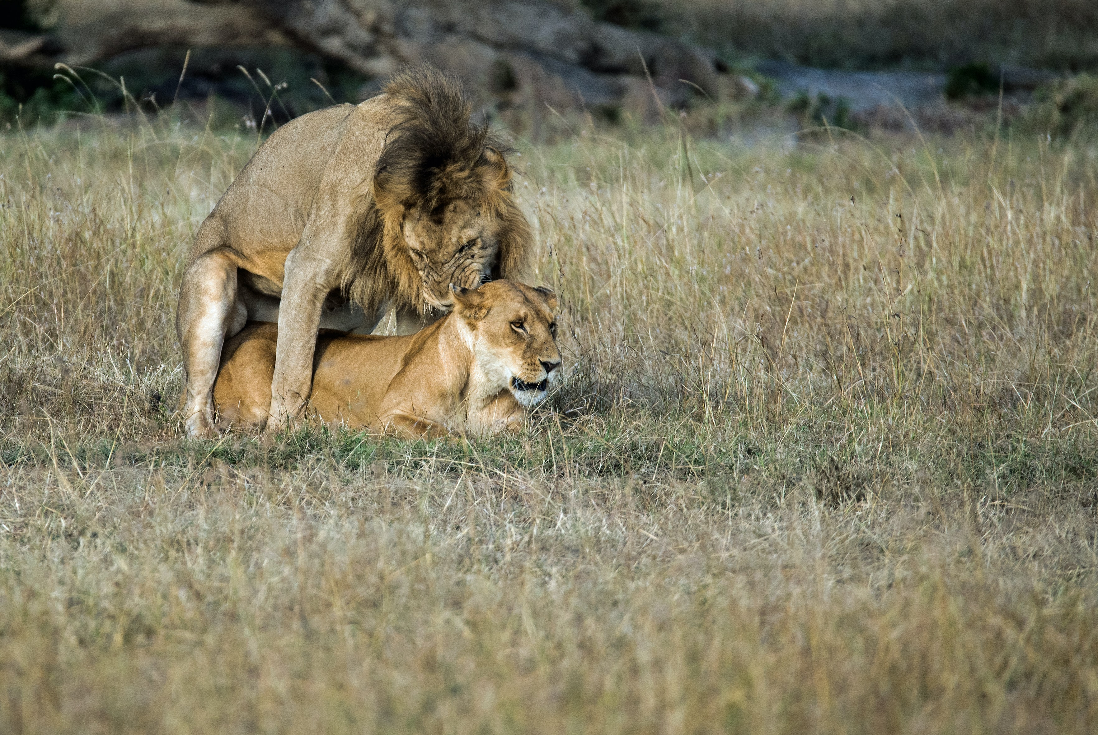 lion mating with lioness on field