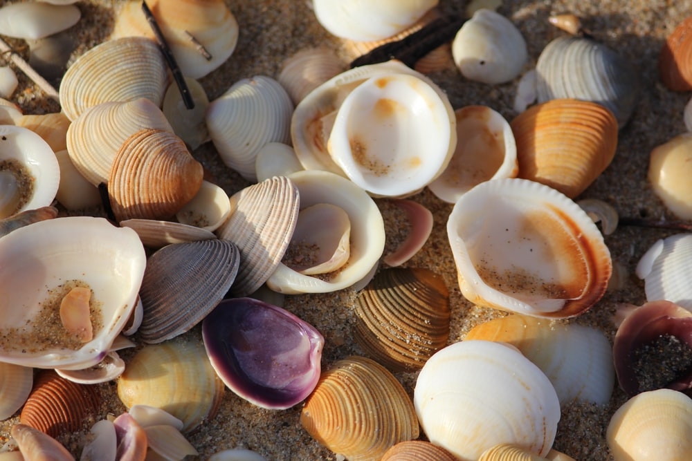 bunch of shell clams on shore