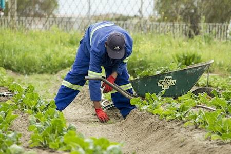 When Home Gardeners Should Harvest Root Vegetables