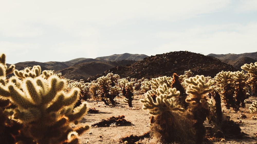 landscape photography of cactus