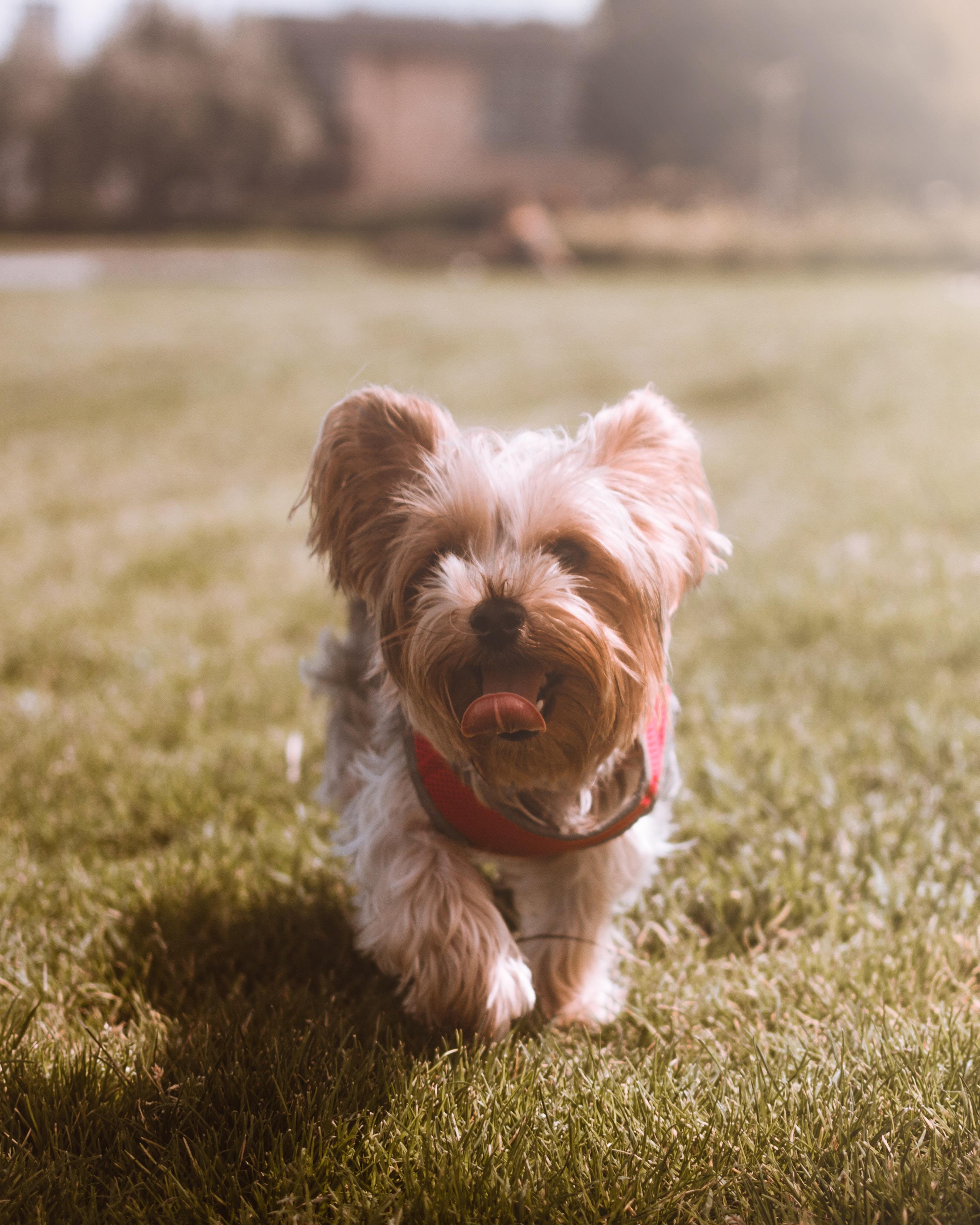 brown puppy walking on grass field