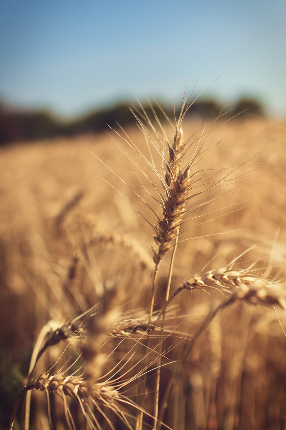 wheat pictures download free images on unsplash