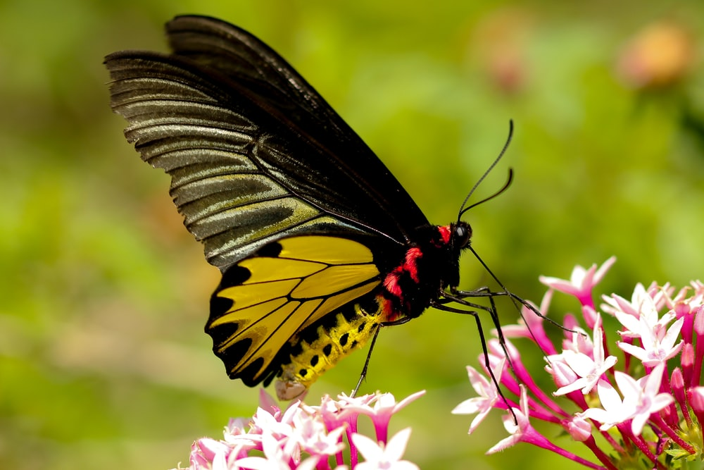 selective focus photography of black and yellow moth perching on white and pink petaled flower