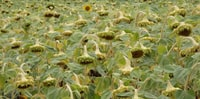 Sad field of sunflowers