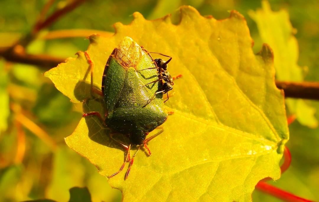 Odorek zieleniak ofiarą mrówki