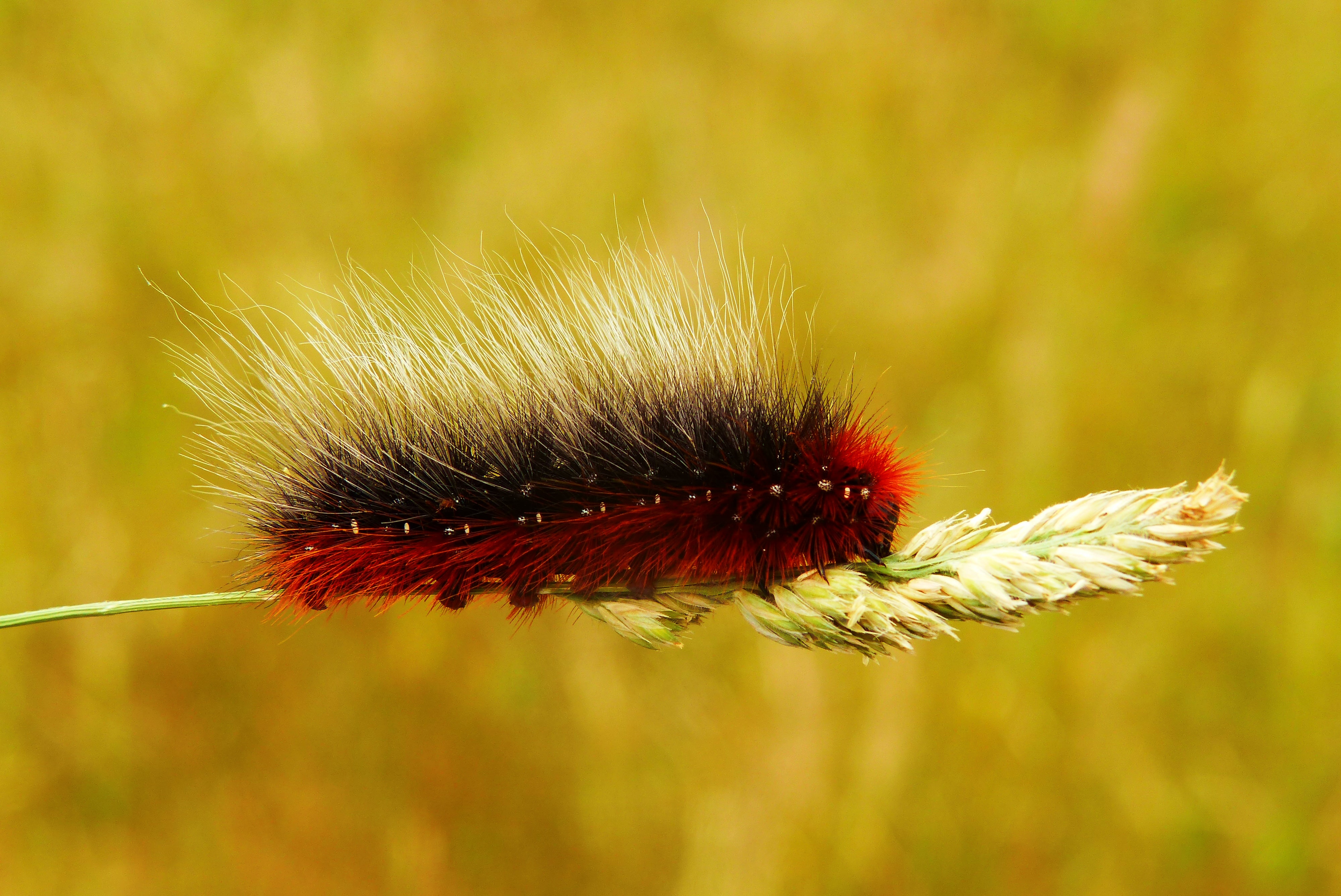 red and black worm