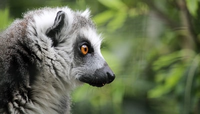 closed-up photography of gray lemur