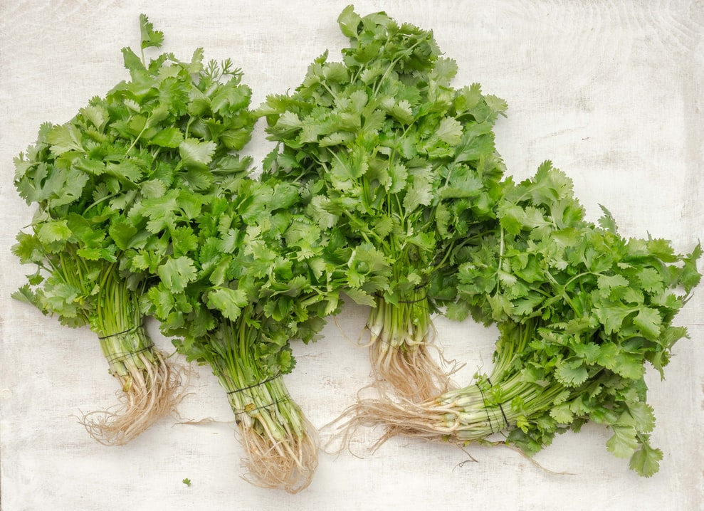 Coriander | 63 Amazing Pest And Insect Repellent For Plants You Should Know