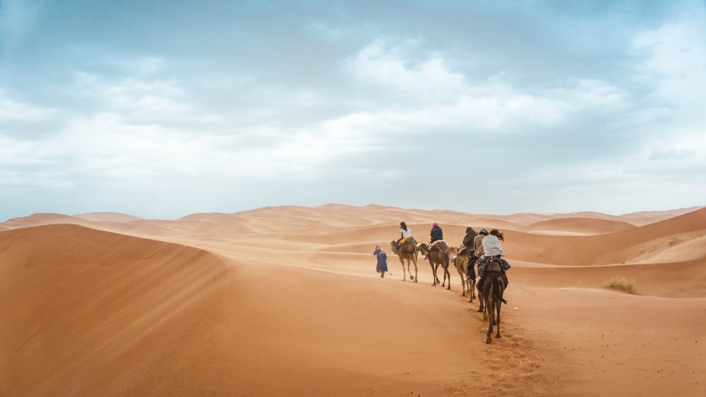group of people riding on camels