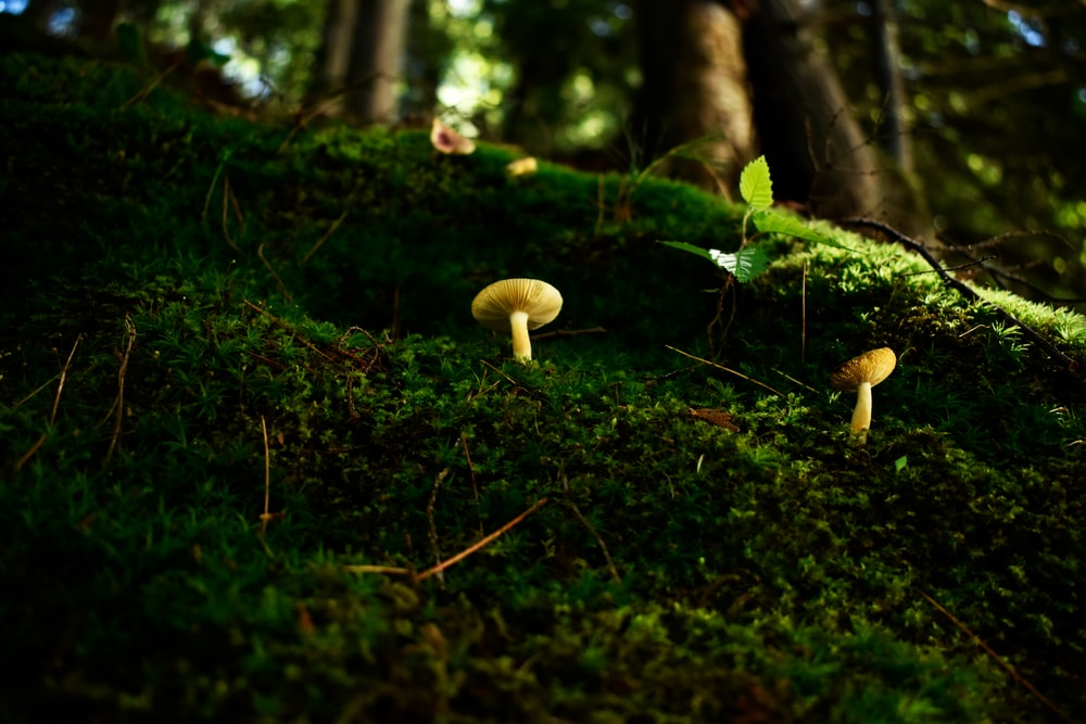 two brown mushrooms on roots of trees covered with green moss