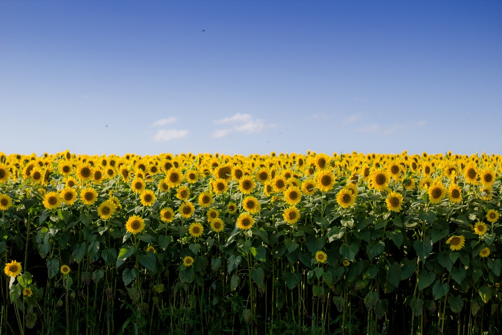 white-and-brown sunflower field during daytime