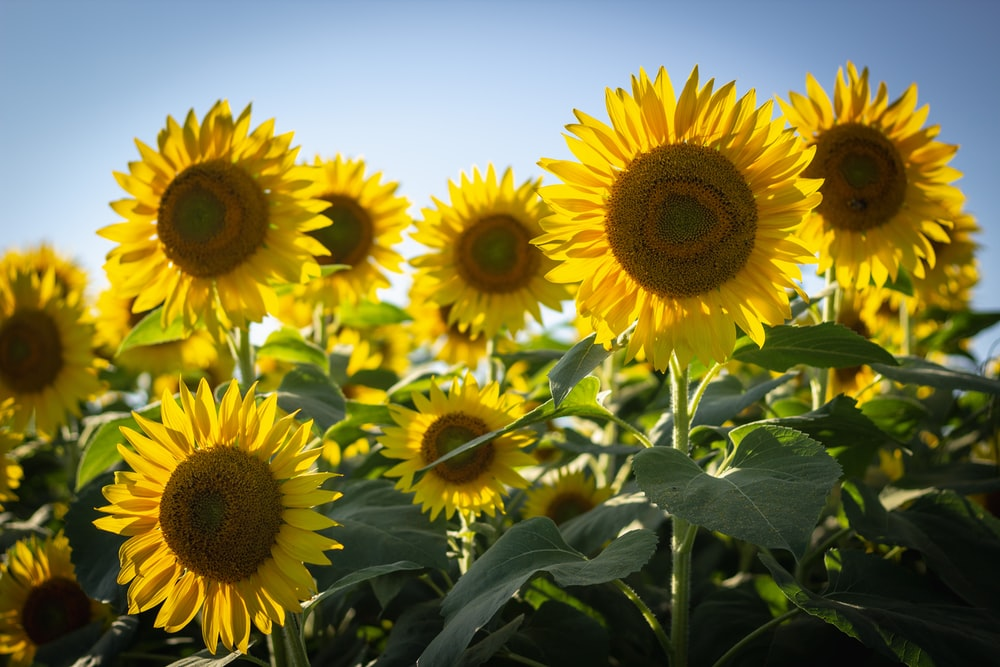 20 sunflower pictures hq download free images on unsplash yellow sunflowers in bloom mightylinksfo