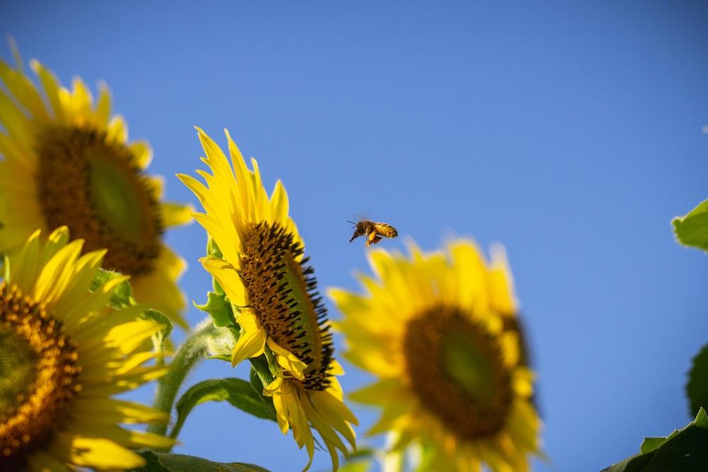 bee pollination on sunflower
