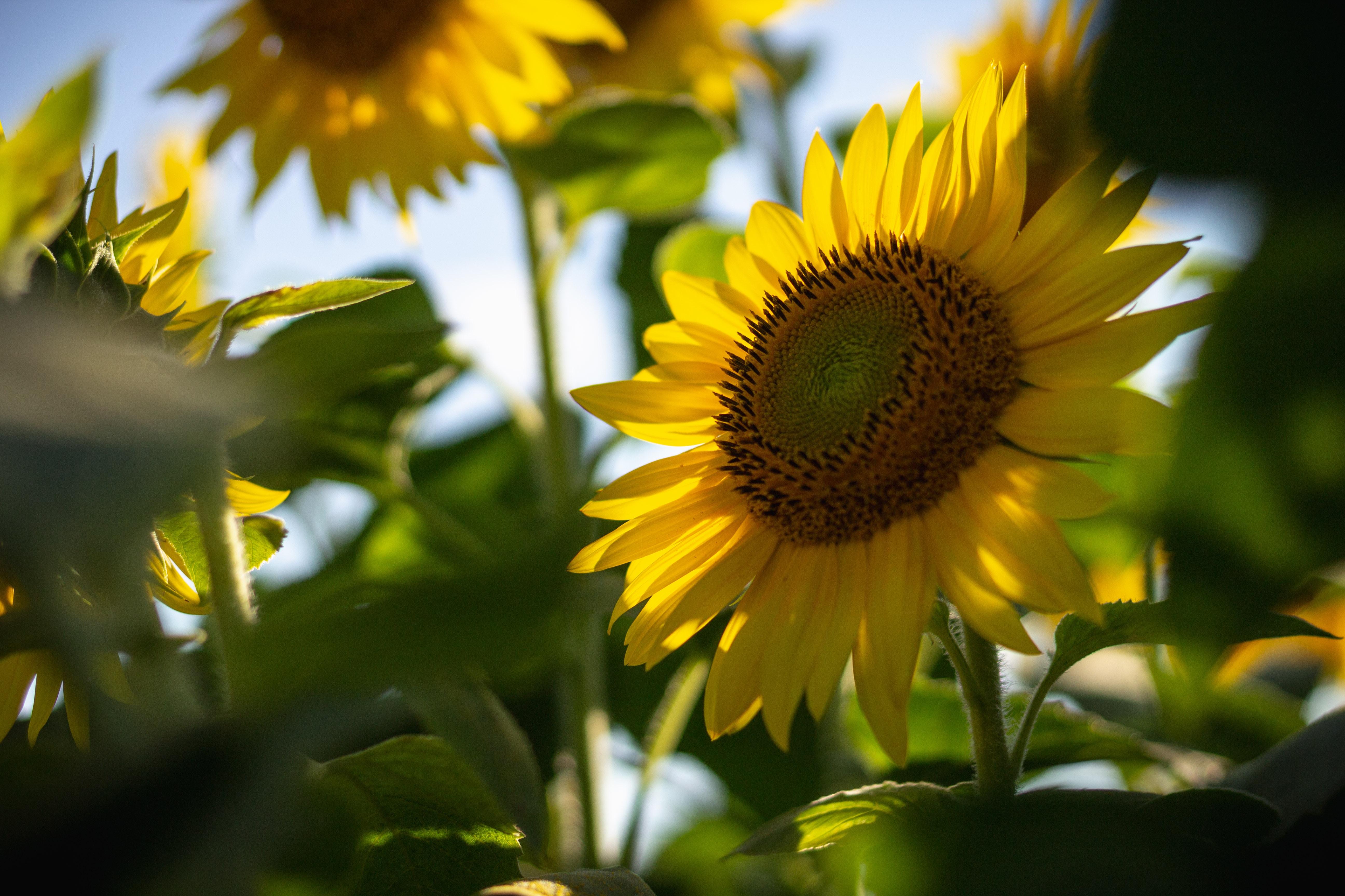 field of yellow sunflower
