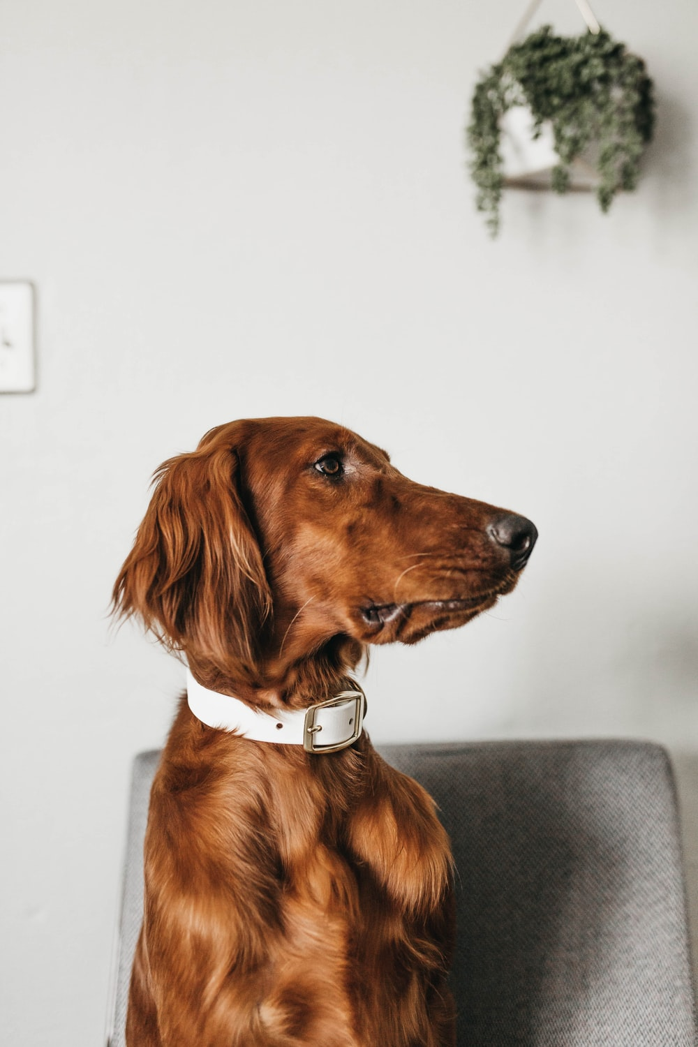 long-coated brown dog