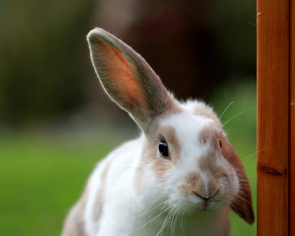 white and brown rabbit looking at camera