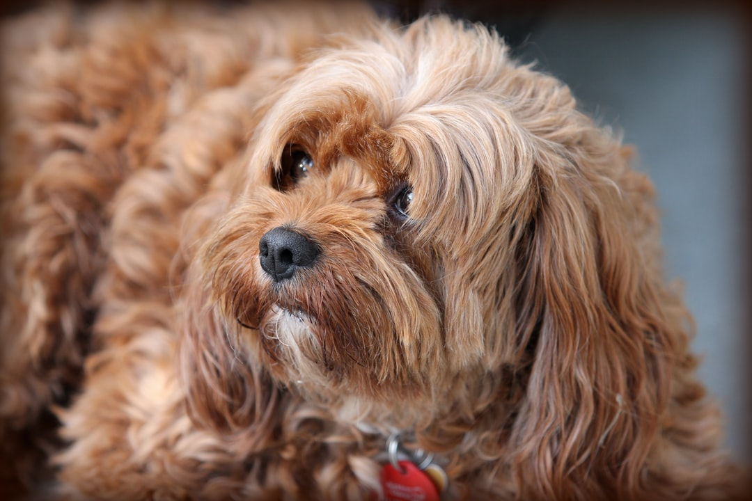 My friend looks after other people's pet, and this lovely little Cavoodle was visiting one day. He was quite open to being photographed too!
