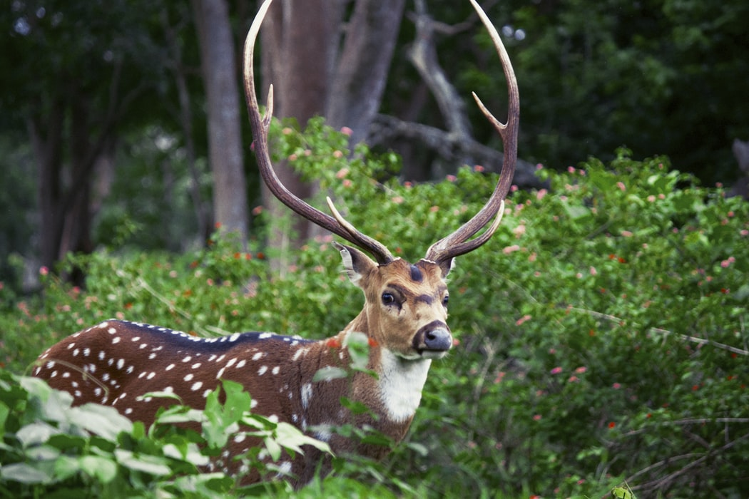 Spotted deer present at Thenmala in Kerala