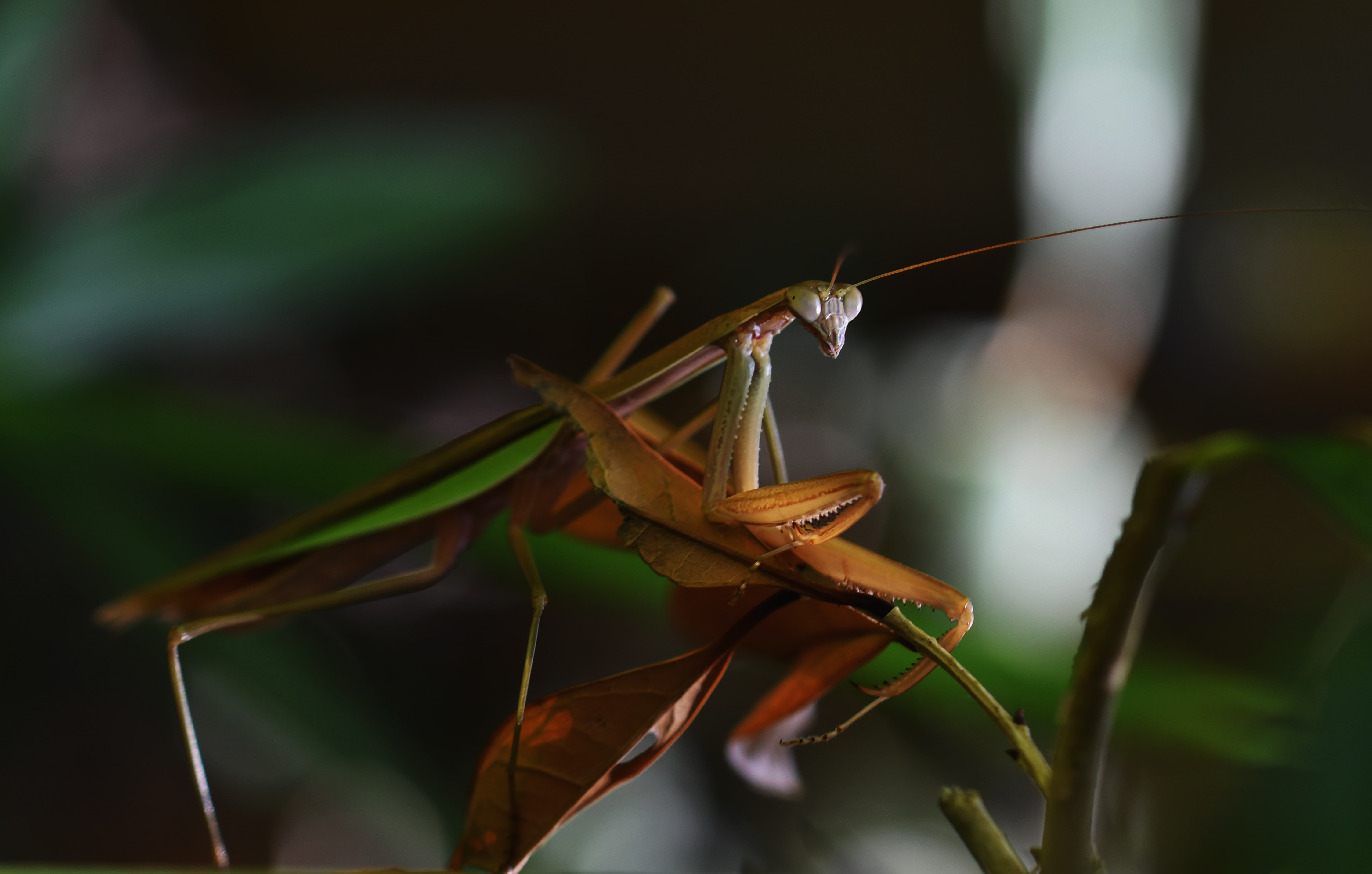 selective focus photography of brown and green praying mantis on brown leaf