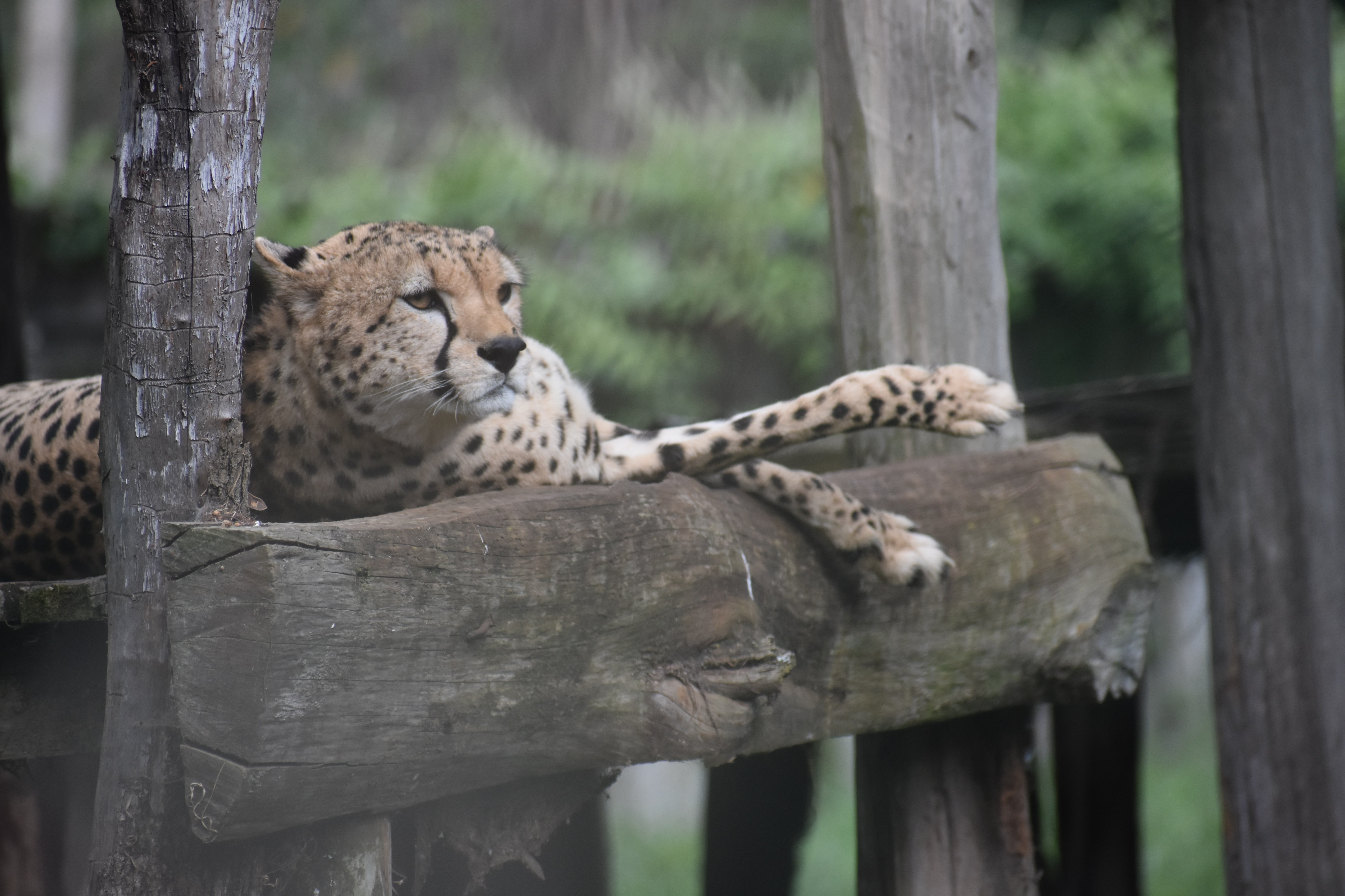 cheetah laying down on wooden surface
