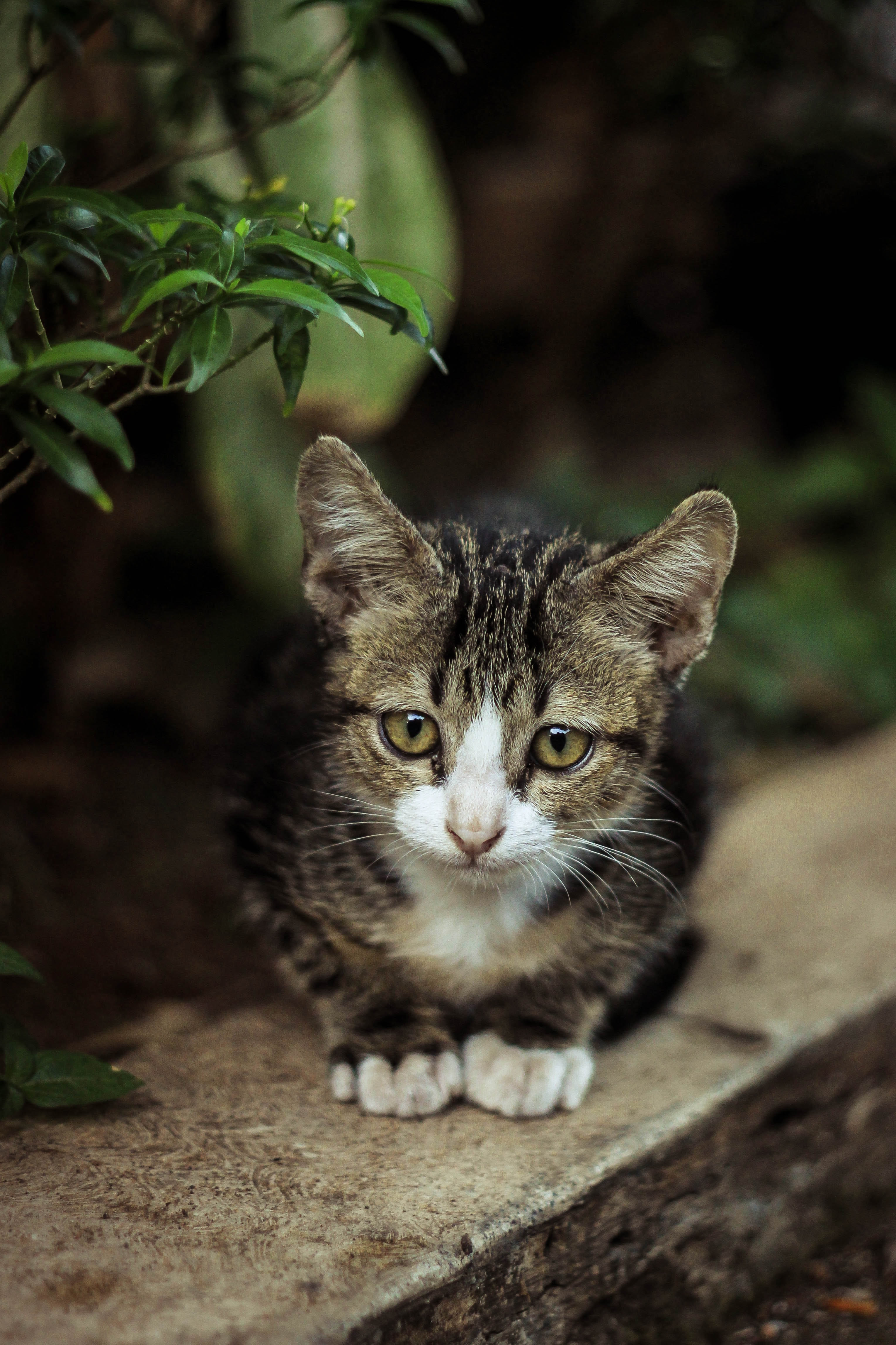 grey tabby kitten