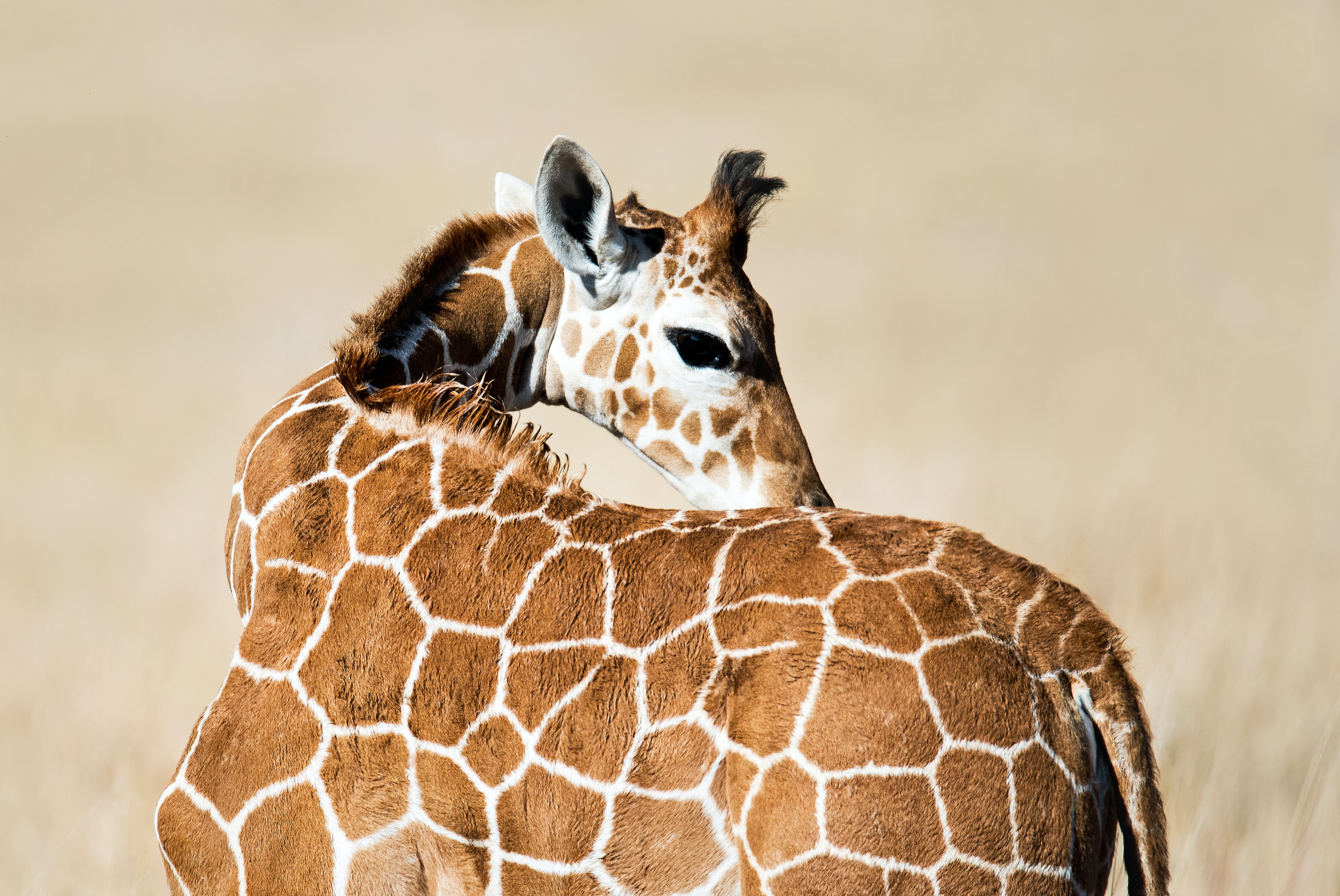 Baby Giraffe Pictures Download Free Images On Unsplash