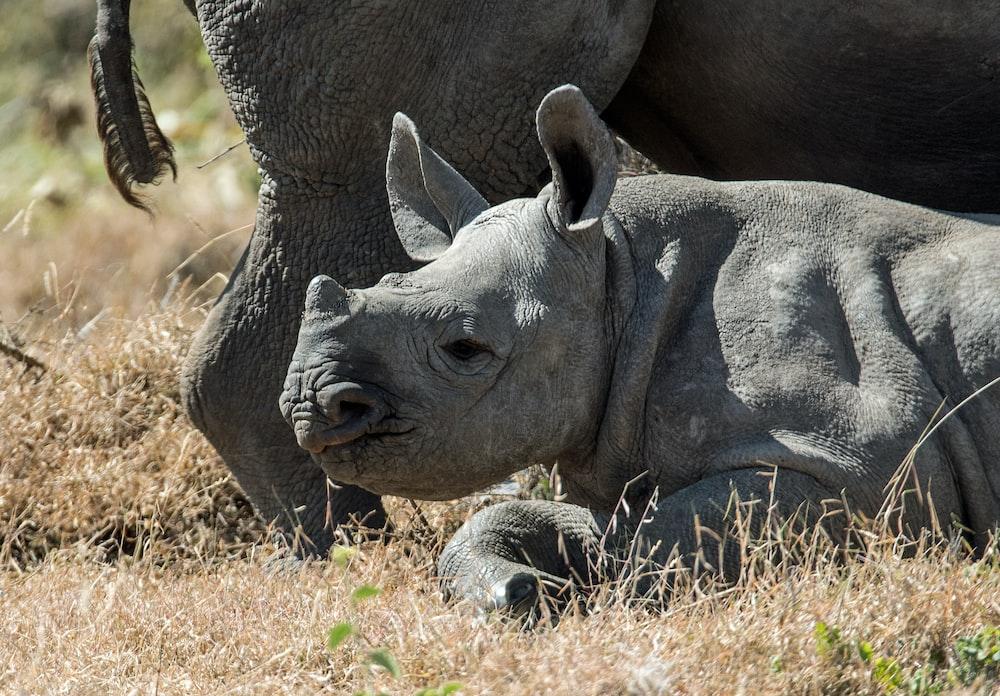 gray baby rhinoceros
