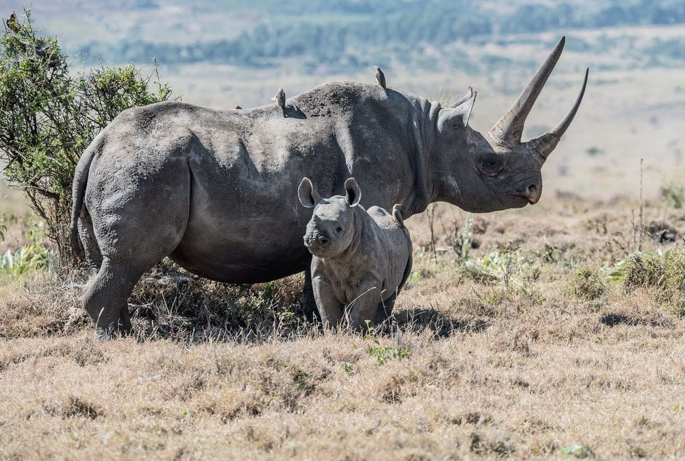 gray rhinoceros parent and offspring on field