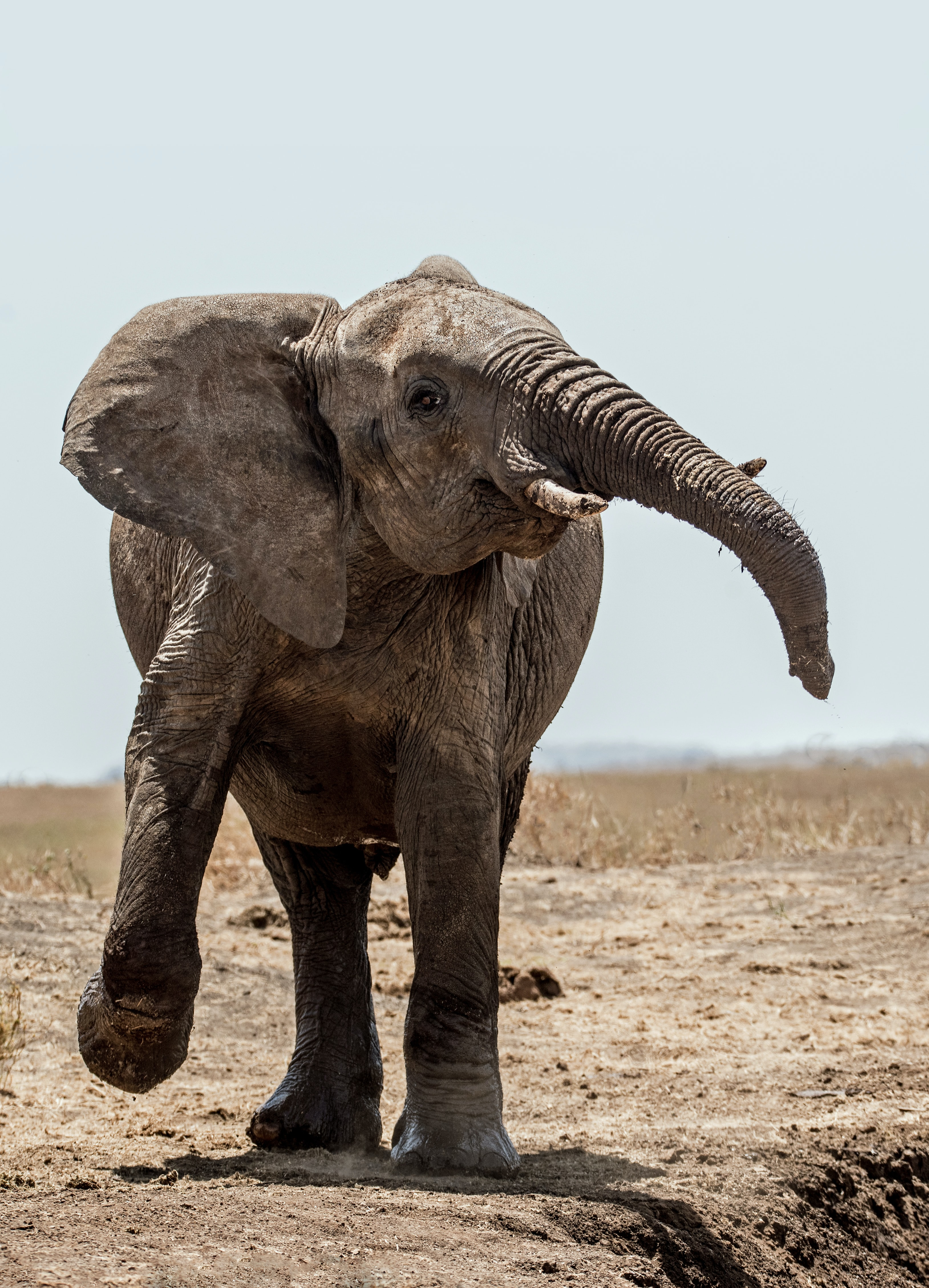 elephant walking on soil