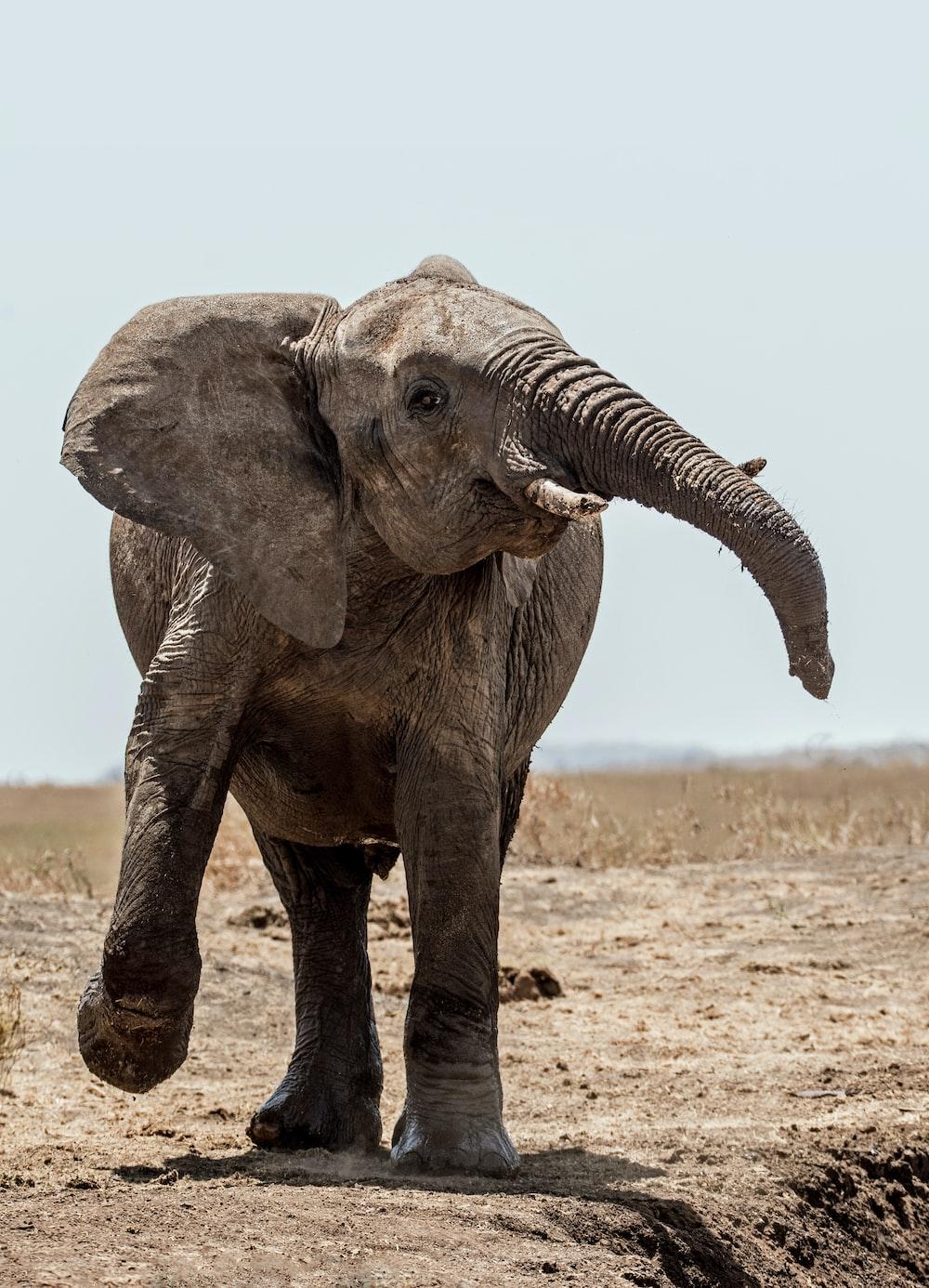 elephant walking on soil