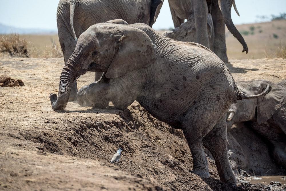elephant climbing on ground