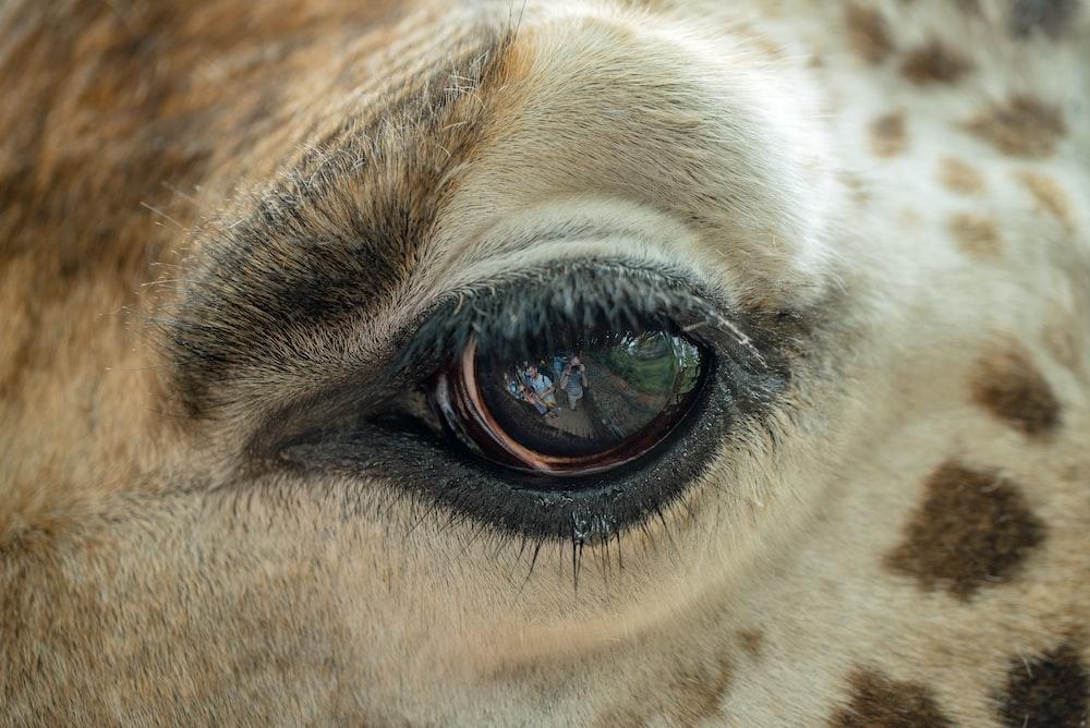 macro photography of giraffe eye