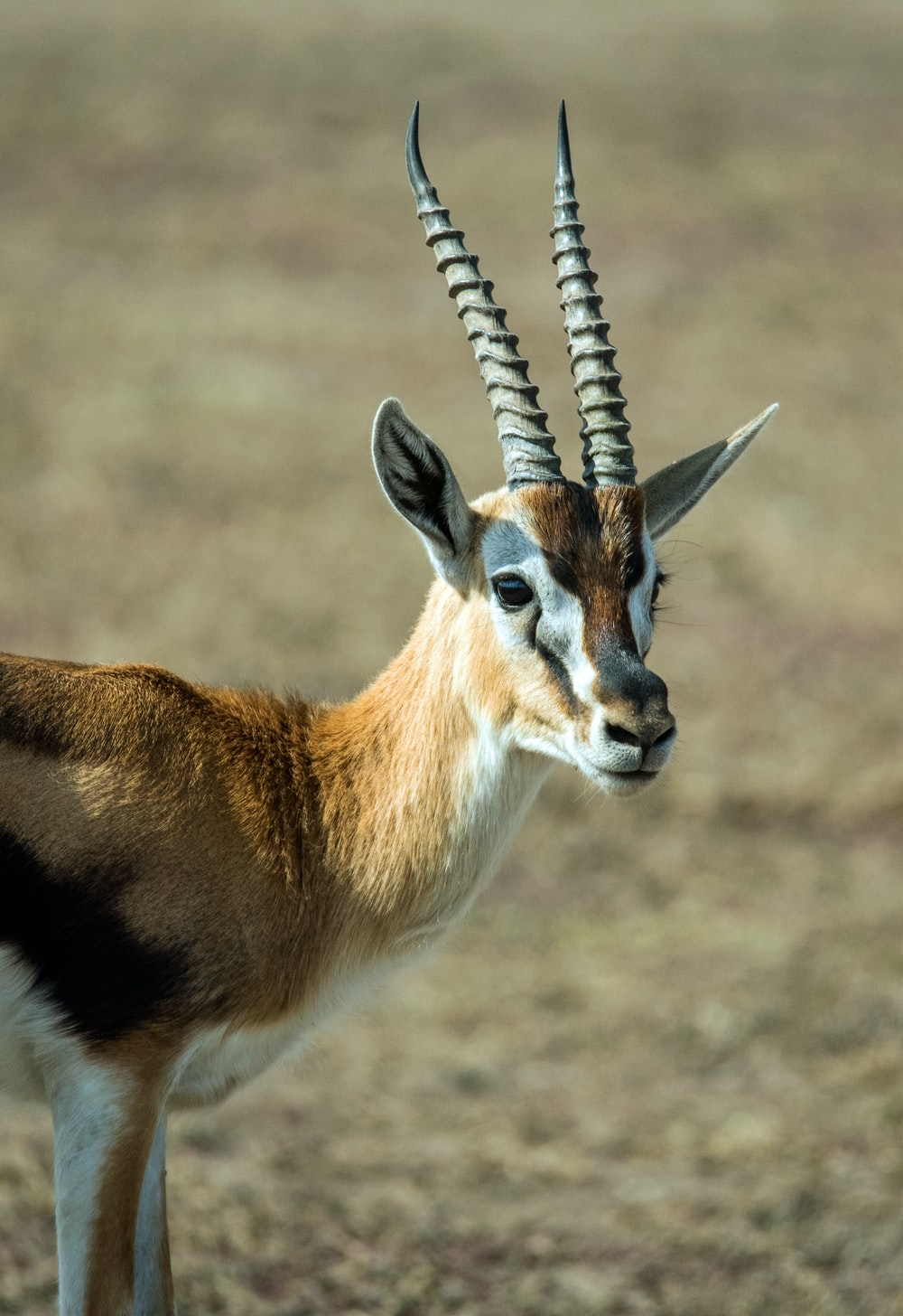 selective focus photography of antelope standing on field during daytime