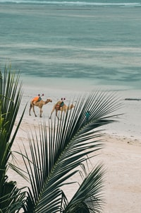 two brown camels walking on beach at daytime