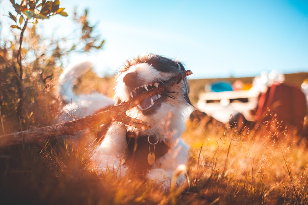long-coated white and black dog biting wood while lying on grass during daytime