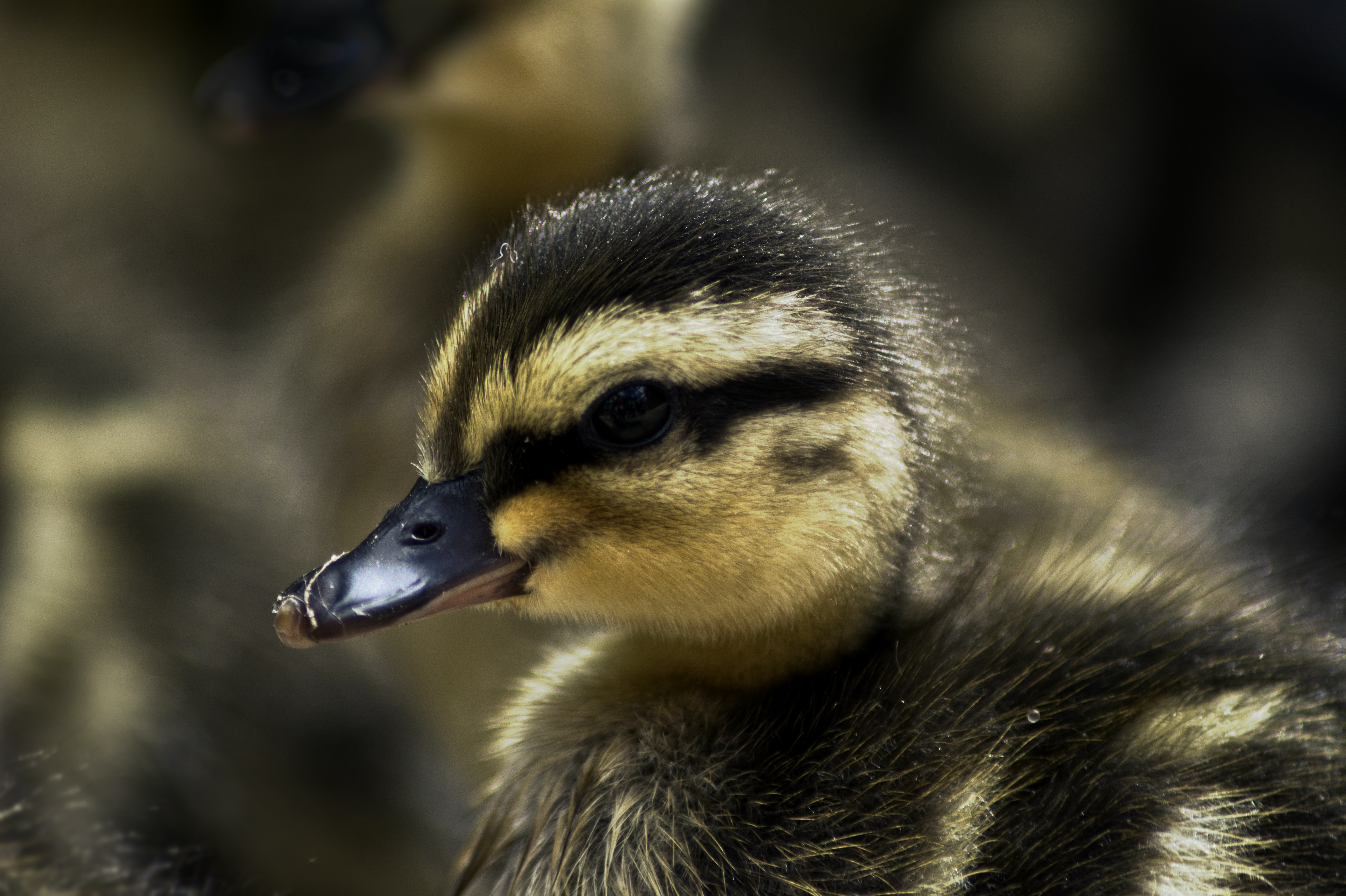 selective focus yellow and black duckling