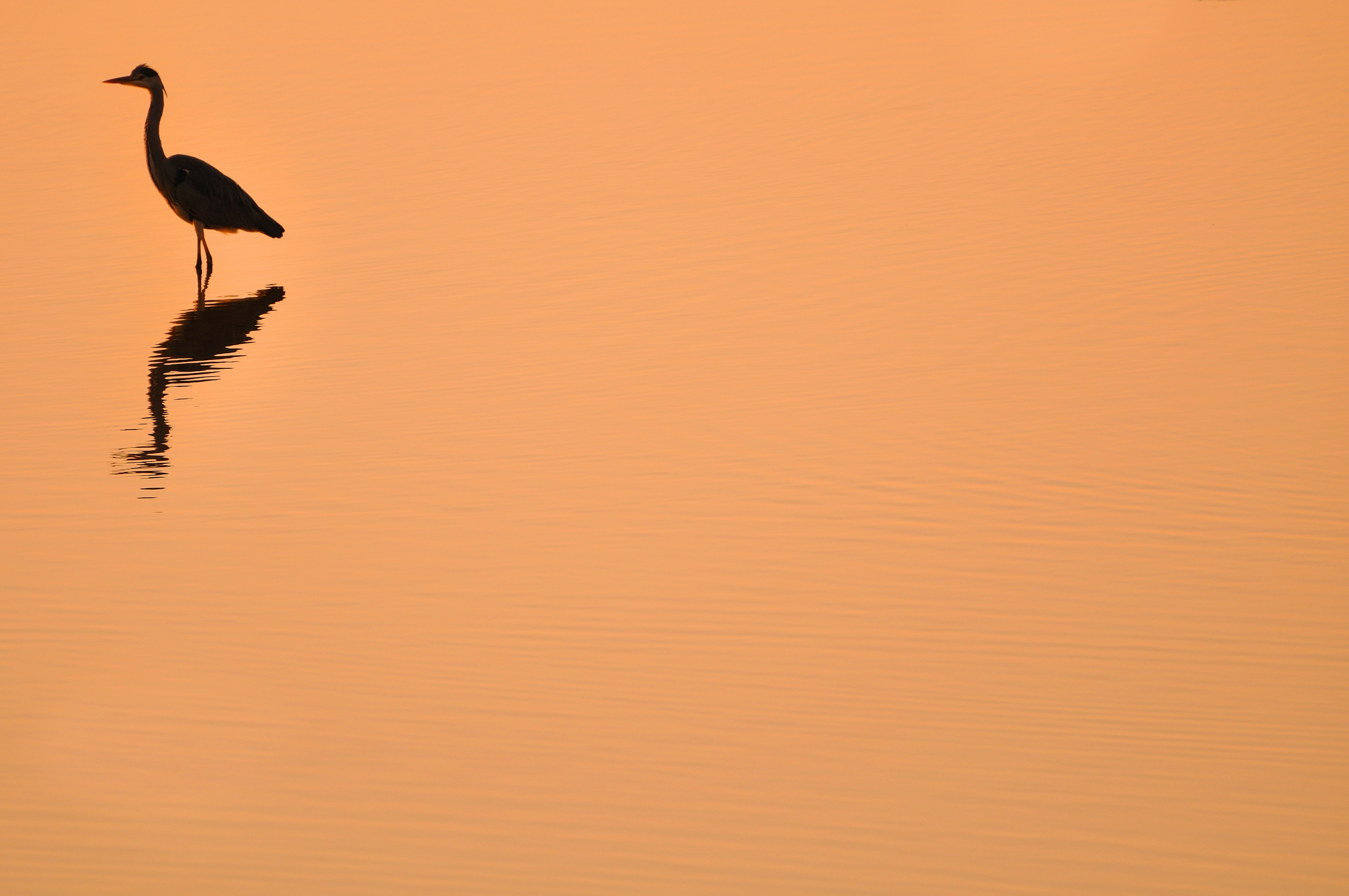 silhouette of heron with orange background
