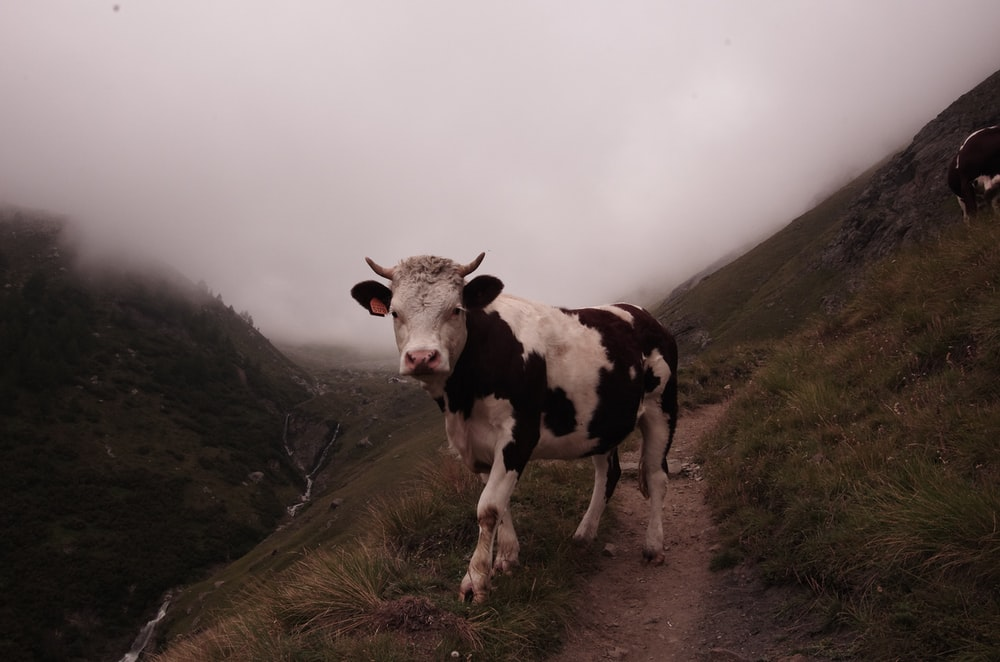 white and black cattle on empty field under cloudy sky