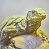 selective focus photography of yellow Komodo dragon on tree branch at daytime