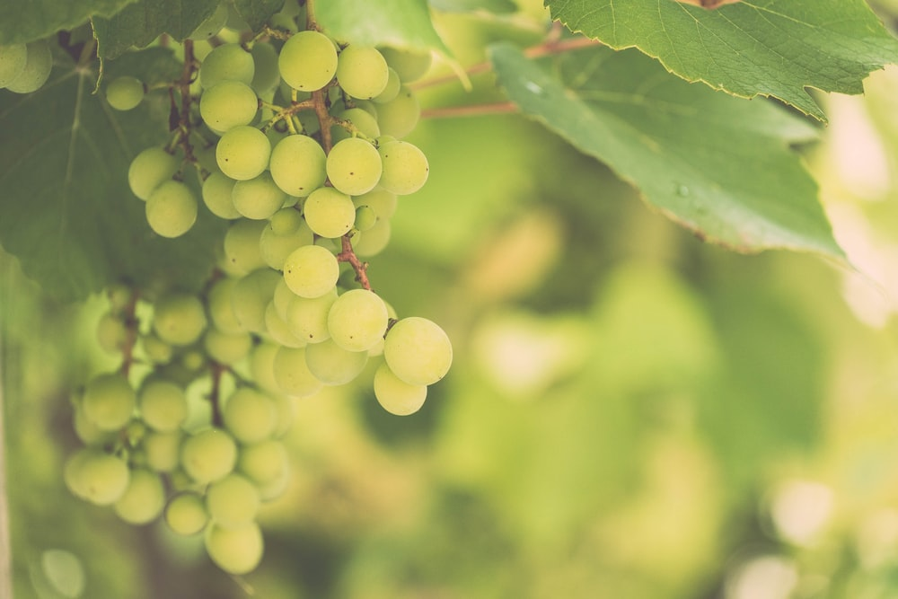 green grapes on tree