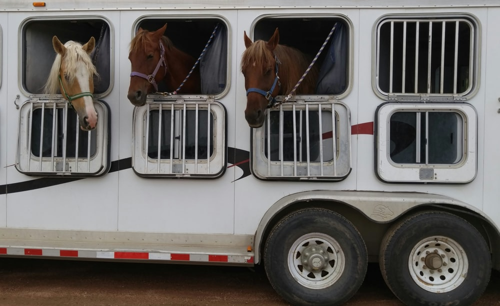 three horses in white trailer