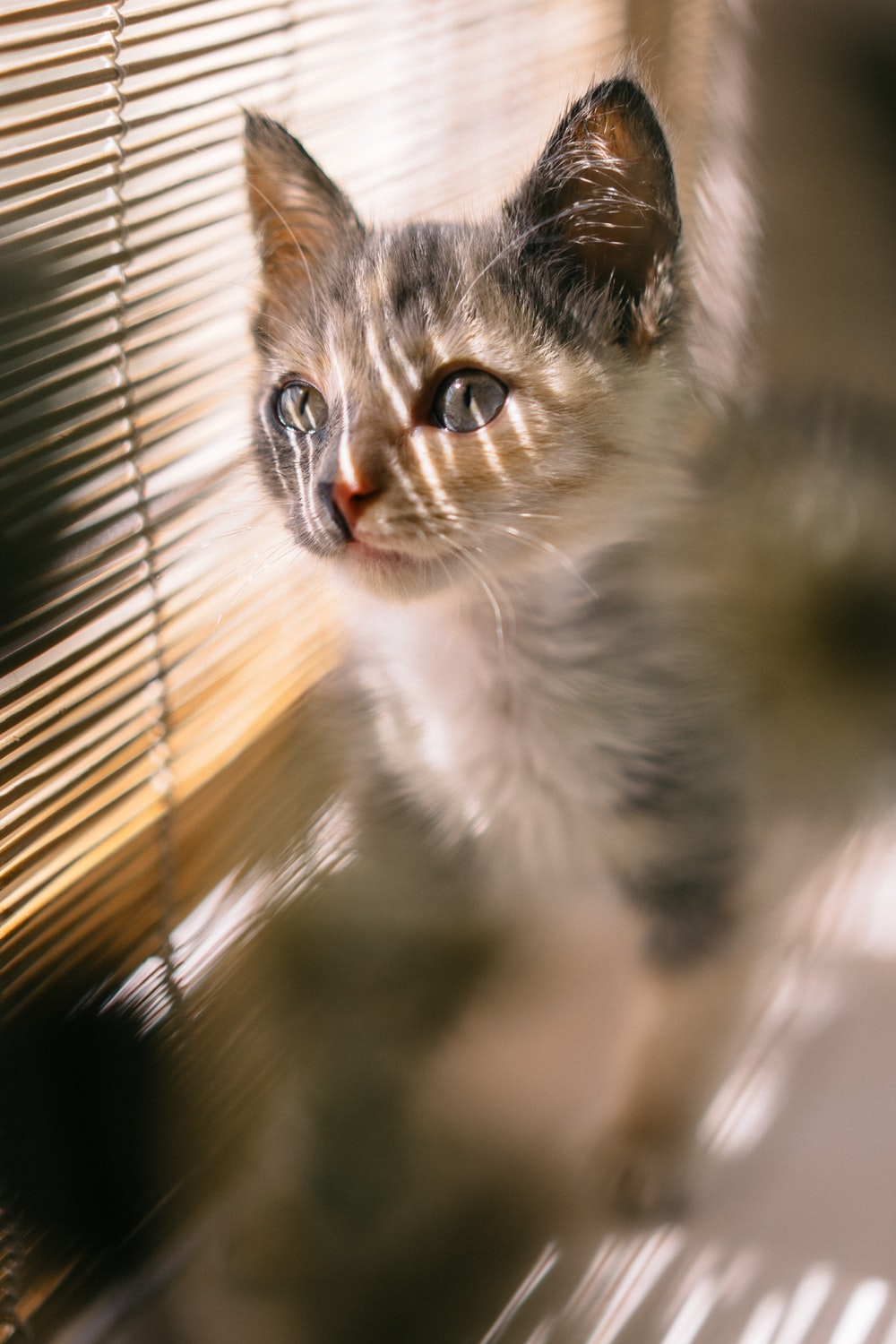 brown, black, and white calico kitten standing near brown window blind