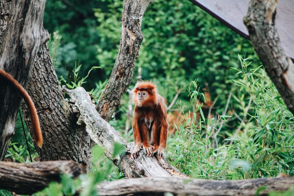 photo of brown monkey sitting on logs