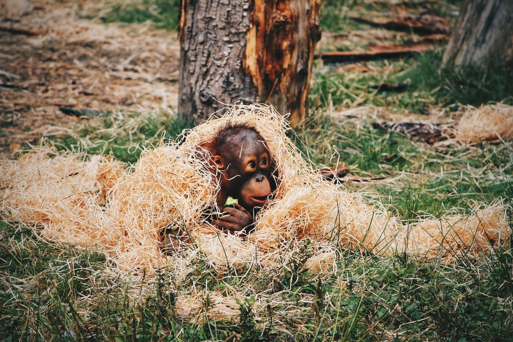 baby chimpanzee covered in straws