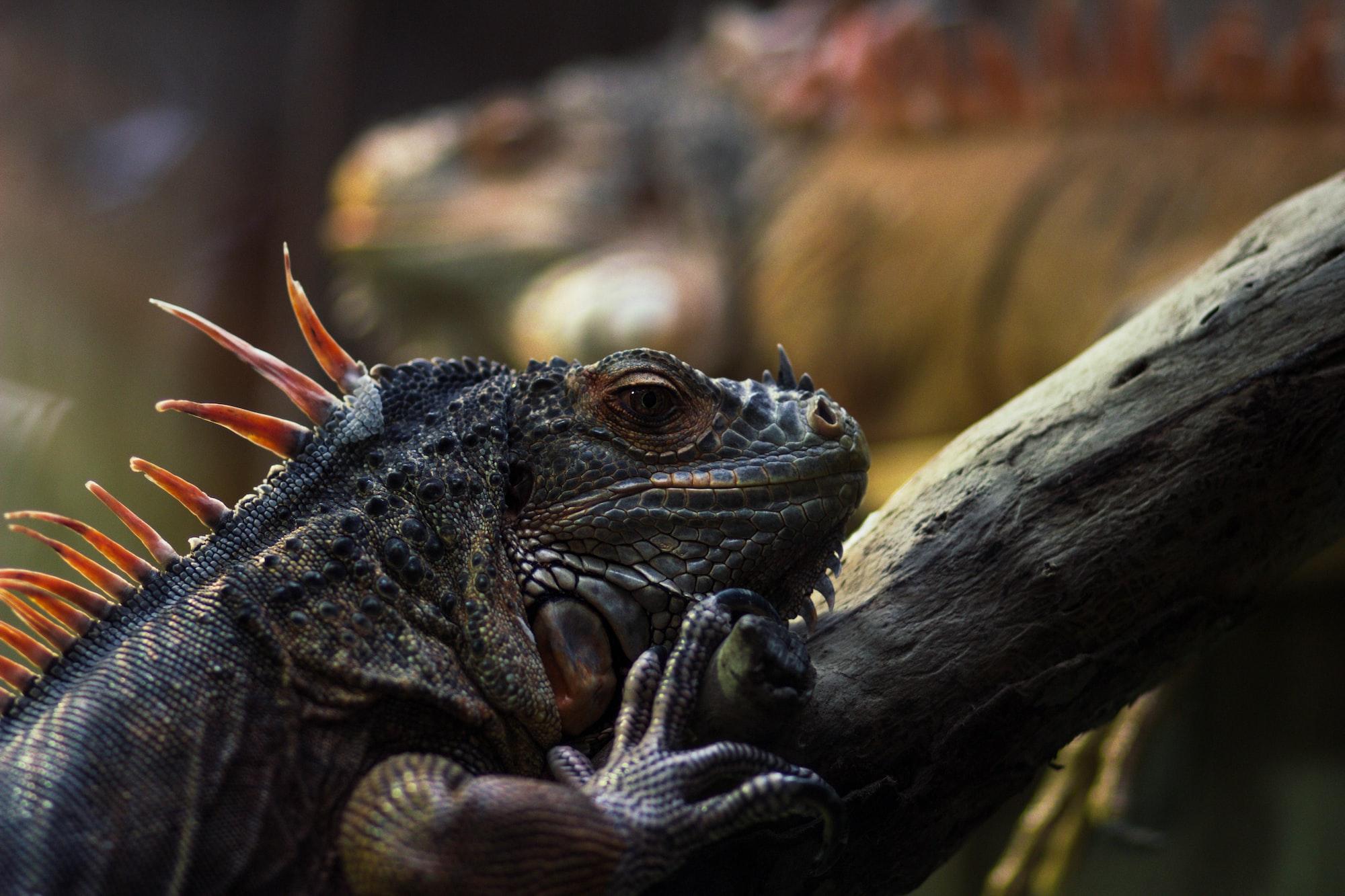 Smile for me, iguana