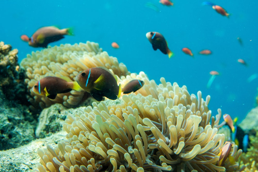 school of fishes near corals
