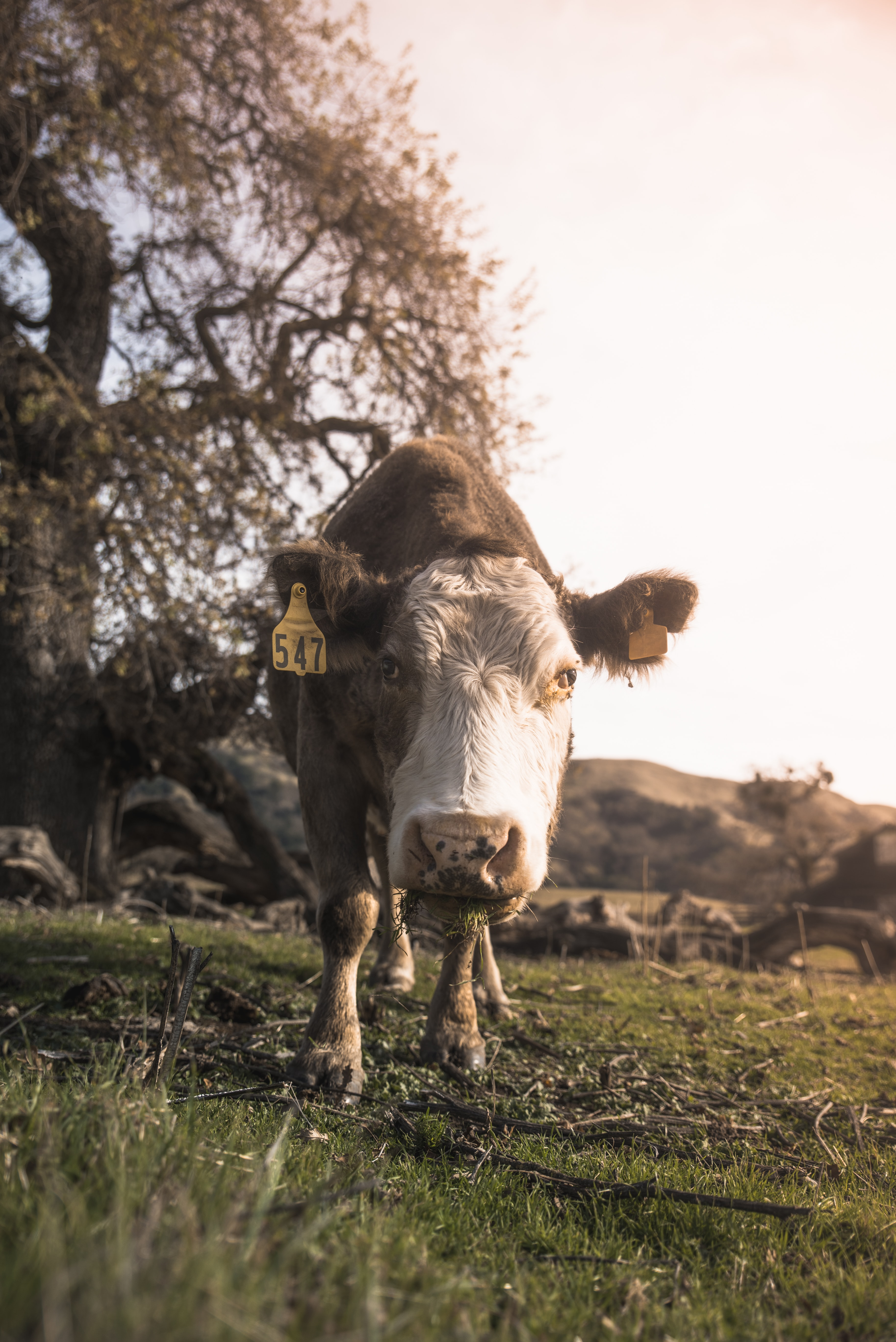 gray and white cow