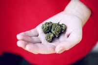A woman holding three nuggets of dried marijuana leaf for pain management, depression, anxiety and PTSD.