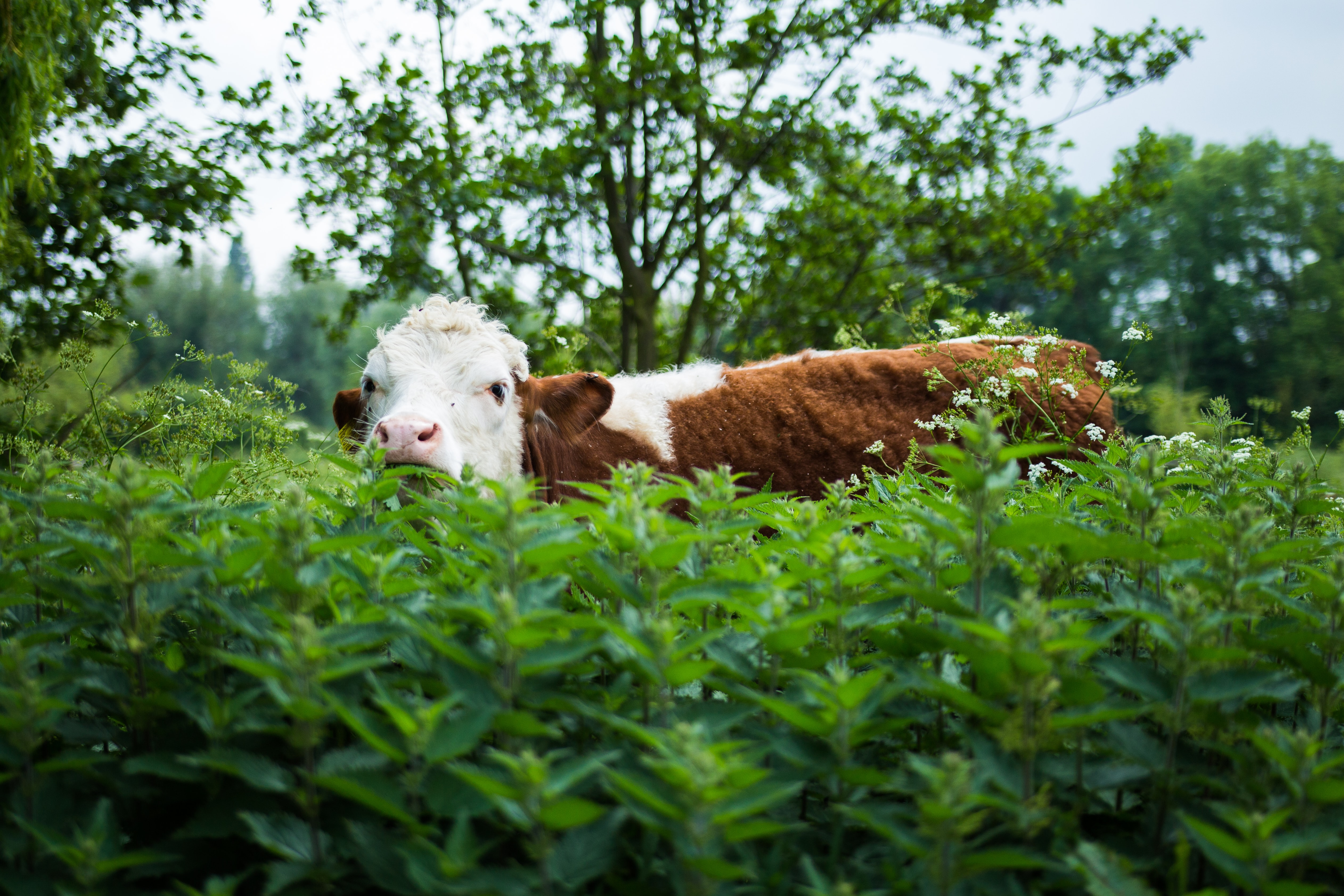 brown and white cow standing on green leafed plants