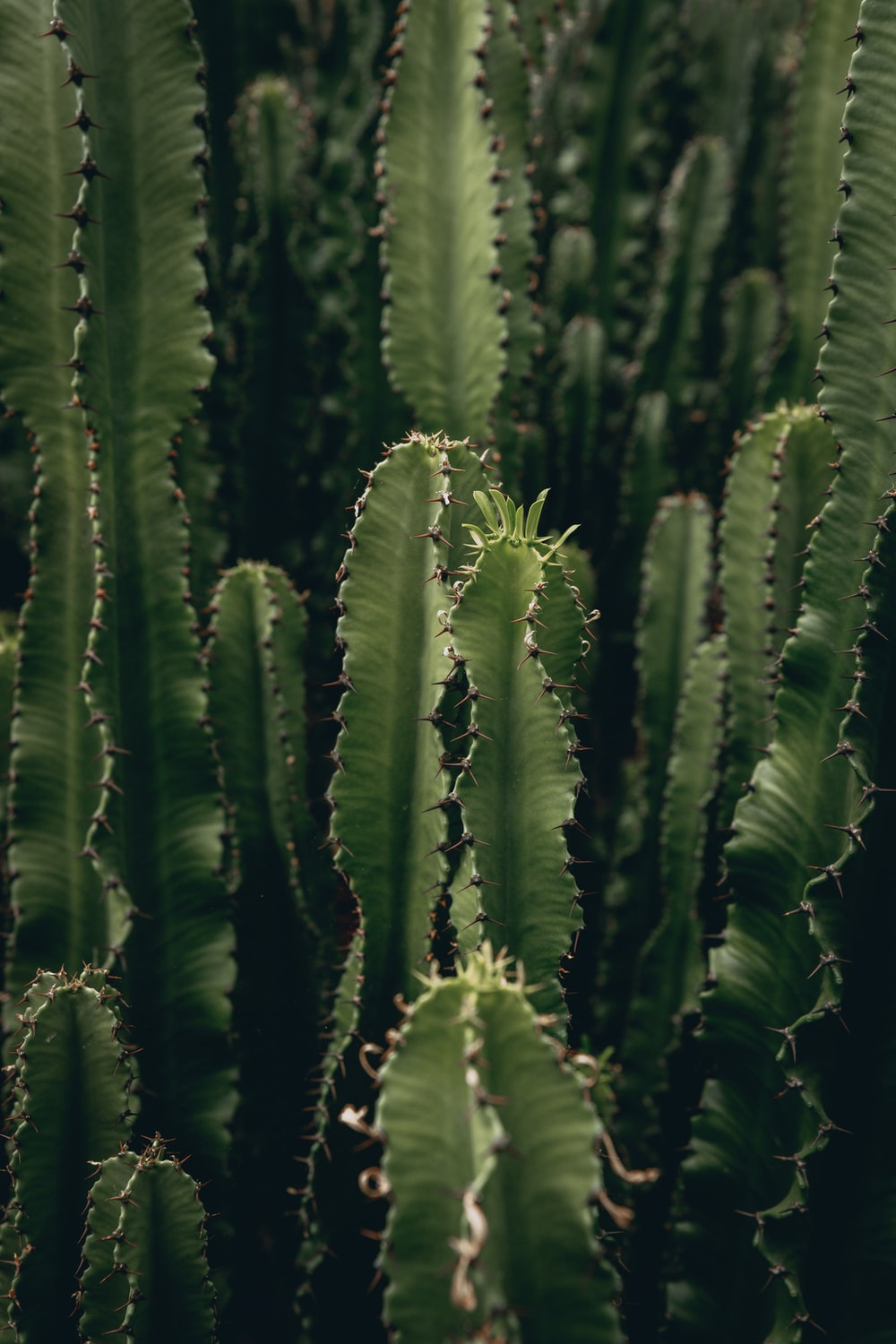 green cactus plants